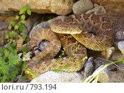 Купить «Гремучая змея», фото № 793194, снято 20 марта 2009 г. (c) Shawn A. Nelson / Фотобанк Лори