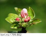 Купить «Весна. Цветущая яблоня», фото № 799802, снято 15 сентября 2019 г. (c) ElenArt / Фотобанк Лори