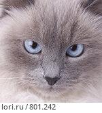 Кошачья мордочка. Стоковое фото, фотограф Алексей Ведерников / Фотобанк Лори