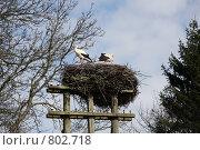 Гнездо аистов, семейная пара, весна. Стоковое фото, фотограф Елена Колтыгина / Фотобанк Лори