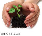 Детские руки около молодого растения болгарского перца на белом фоне. Стоковое фото, фотограф Анна Игонина / Фотобанк Лори