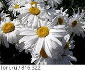 Ромашки. Стоковое фото, фотограф Евгений Селезнев / Фотобанк Лори