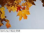 Купить «Листья клена», фото № 822558, снято 27 сентября 2008 г. (c) Алексей Ефимов / Фотобанк Лори