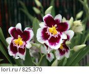 Купить «Орхидея Miltoniopsis», фото № 825370, снято 20 апреля 2009 г. (c) Irina Opachevsky / Фотобанк Лори