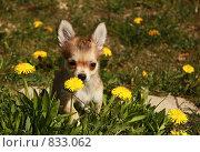 Маленькая собака в одуванчиках. Стоковое фото, фотограф Алина / Фотобанк Лори