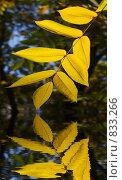Купить «Ветвь золотых осенних листьев, отражающаяся в водоеме», фото № 833266, снято 19 октября 2018 г. (c) Светлана Привезенцева / Фотобанк Лори