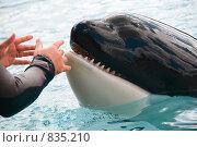 Тренер в дельфинарии готовит косатку к выступлению. Стоковое фото, фотограф Beniamin  Gelman / Фотобанк Лори