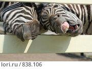 Зебры в зоопарке выпрашивают корм. Стоковое фото, фотограф Титаренко Елена / Фотобанк Лори