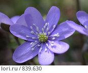 Купить «Фиолетовый цветок с лепестками и тычинками крупным планом. Макро», фото № 839630, снято 2 мая 2004 г. (c) Максим Антипин / Фотобанк Лори