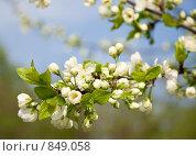 Купить «Ветка цветущей вишни. Крупный план», фото № 849058, снято 6 мая 2009 г. (c) Сергей Чистяков / Фотобанк Лори