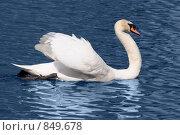 Купить «Белый лебедь», фото № 849678, снято 5 мая 2009 г. (c) Бутинова Елена / Фотобанк Лори