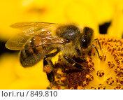 Купить «Пчела на цветке», фото № 849810, снято 16 сентября 2007 г. (c) Алексей Ухов / Фотобанк Лори