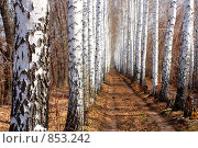 Дорога в березовой аллее. Стоковое фото, фотограф Михаил Коханчиков / Фотобанк Лори