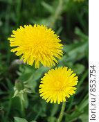 Купить «Два распустившихся желтых одуванчика в солнечный весенний день», фото № 853754, снято 9 мая 2009 г. (c) Екатерина Овсянникова / Фотобанк Лори