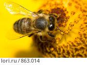 Купить «Пчела на цветке», фото № 863014, снято 16 сентября 2007 г. (c) Алексей Ухов / Фотобанк Лори