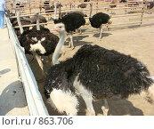 Купить «Африканский страус», фото № 863706, снято 11 мая 2009 г. (c) Елена Велесова / Фотобанк Лори