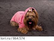 Собачка в капюшоне. Стоковое фото, фотограф Багрова Алеся / Фотобанк Лори