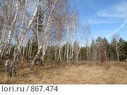 Купить «Березовая роща на фоне соснового леса», фото № 867474, снято 25 апреля 2009 г. (c) Сергей Сынтин / Фотобанк Лори