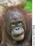 Купить «Молодой орангутан», фото № 877994, снято 21 мая 2008 г. (c) Akunia-Gerrero N.V. / Фотобанк Лори