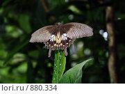 Купить «Тропическая бабочка», фото № 880334, снято 16 августа 2018 г. (c) Анжелика Самсонова / Фотобанк Лори