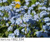 Незабудки, фото № 882334, снято 9 мая 2009 г. (c) Примак Полина / Фотобанк Лори