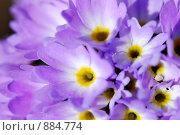 Купить «Цвет примулы (макро)», фото № 884774, снято 5 мая 2009 г. (c) Алексей Бугвин / Фотобанк Лори