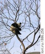 Купить «Китай. Панда на дереве», фото № 886258, снято 25 марта 2008 г. (c) Александр Солдатенко / Фотобанк Лори