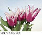 Тюльпаны. Стоковое фото, фотограф Винокурова Татьяна / Фотобанк Лори