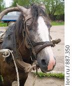 Купить «Лошадь», фото № 887350, снято 26 мая 2009 г. (c) Туркин Вадим / Фотобанк Лори