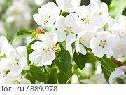 Купить «Цветущая яблоня», фото № 889978, снято 25 мая 2009 г. (c) Фёдорова Эллина / Фотобанк Лори