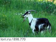 Купить «Коза на лугу ест одуванчики», эксклюзивное фото № 898770, снято 31 мая 2009 г. (c) Яна Королёва / Фотобанк Лори