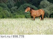 Купить «Лошадь в поле», фото № 898778, снято 1 июня 2009 г. (c) Яна Королёва / Фотобанк Лори