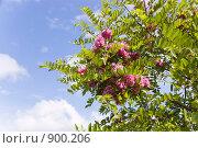 Купить «Цветы розовой акации на фоне голубого неба», фото № 900206, снято 27 мая 2009 г. (c) Илюхина Наталья / Фотобанк Лори