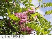Купить «Цветет розовая акация», фото № 900214, снято 27 мая 2009 г. (c) Илюхина Наталья / Фотобанк Лори