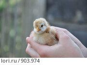 Купить «Новая жизнь цыпленка», фото № 903974, снято 22 января 2008 г. (c) Лада Иванова / Фотобанк Лори