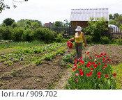 Купить «Пенсионерка поливает клубнику», фото № 909702, снято 6 июня 2009 г. (c) Елена Климовская / Фотобанк Лори