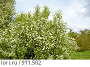 Купить «Обильное цветение черемухи», фото № 911502, снято 22 мая 2009 г. (c) Людмила Жмурина / Фотобанк Лори