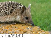 Купить «Ушастый еж», фото № 912418, снято 9 мая 2005 г. (c) Тихонов Алексей Владимирович / Фотобанк Лори