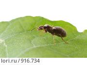 Купить «Муравей на зеленом листе», фото № 916734, снято 4 августа 2008 г. (c) Литова Наталья / Фотобанк Лори