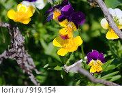 Купить «Желто-фиолетовые цветы», фото № 919154, снято 17 октября 2018 г. (c) Парушин Евгений / Фотобанк Лори