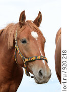 Купить «Портрет лошади», фото № 920218, снято 14 июня 2009 г. (c) Яна Королёва / Фотобанк Лори