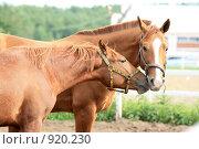 Купить «Пара гнедых лошадей в загоне на конюшне», фото № 920230, снято 14 июня 2009 г. (c) Яна Королёва / Фотобанк Лори