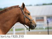 Купить «Портрет лошади», фото № 920310, снято 14 июня 2009 г. (c) Яна Королёва / Фотобанк Лори