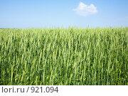 Незрелая пшеница. Стоковое фото, фотограф Минаев С.Г. / Фотобанк Лори