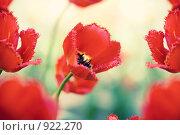 Купить «Красные тюльпаны (малая глубина резкости)», фото № 922270, снято 27 мая 2009 г. (c) Вероника Галкина / Фотобанк Лори