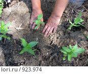 Купить «Посадка цветочной рассады», фото № 923974, снято 14 июня 2009 г. (c) Светлана Кириллова / Фотобанк Лори