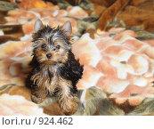 Купить «Йоркширский терьер», фото № 924462, снято 5 марта 2009 г. (c) Тимофеев Павел / Фотобанк Лори