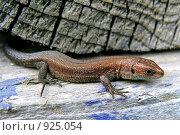 Ящерица. Стоковое фото, фотограф Константин Сапронов / Фотобанк Лори