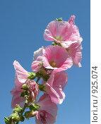Купить «Розовые цветы», фото № 925074, снято 12 мая 2009 г. (c) Юлия Подгорная / Фотобанк Лори