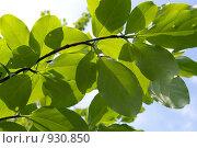 Купить «Ветка лиственного дерева», фото № 930850, снято 17 июня 2009 г. (c) RedTC / Фотобанк Лори